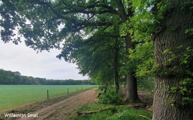 Peppelerboom